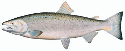 [صورة مرفقة: muskegon-coho-salmon.jpg]